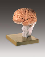 Brain Demonstration Model