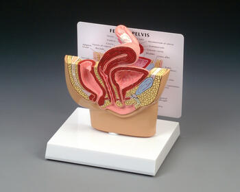 Female Pelvis Section Model