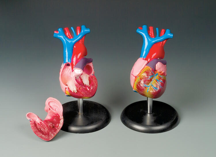 Budget Life-size Heart Model