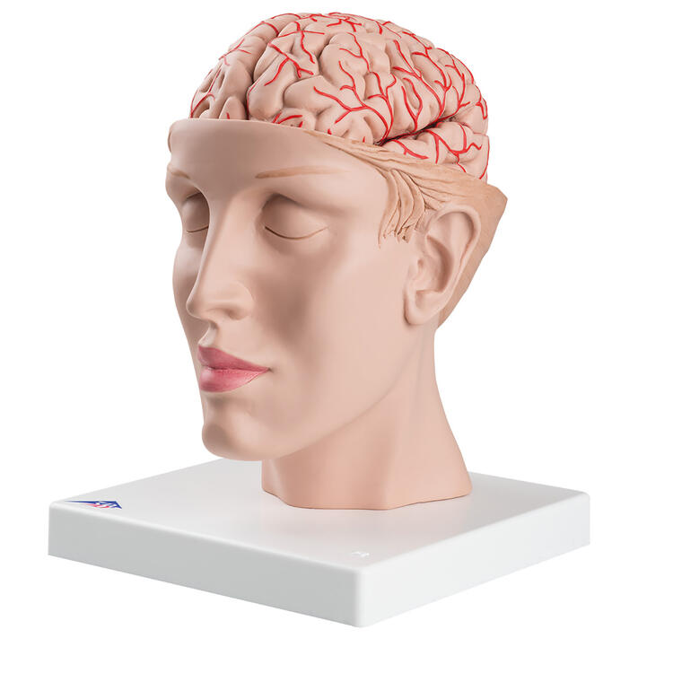 Head with Brain Model