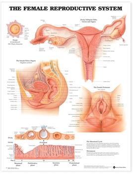 Female Reproductive System Anatomical Chart