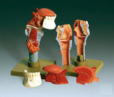 Human Larynx With Tongue Model