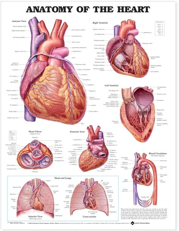 human heart chart images: Of the heart anatomical chart