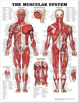 Muscular system anatomical chart fandeluxe Image collections