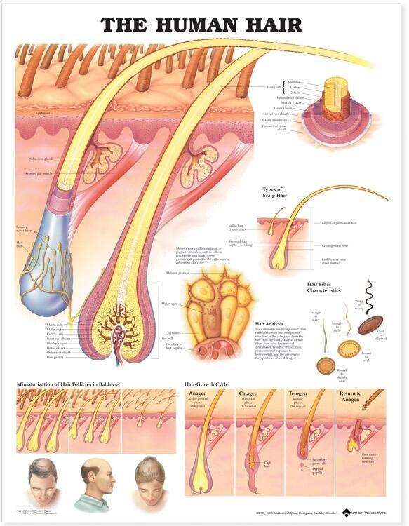 Human Hair Anatomical Chart