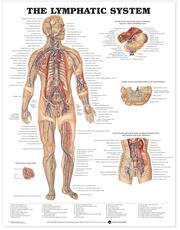 Lymphatic System Anatomical Chart
