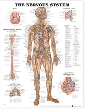 Nervous System Anatomical Chart