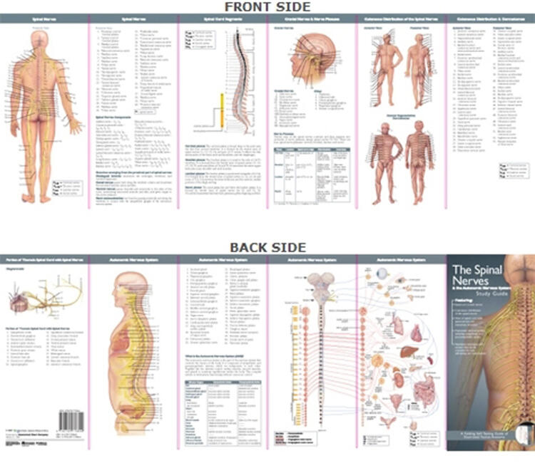 Anatomical Chart Company's Illustrated Pocket Anatomy: The Spinal Nerves & the Autonomic Nervous System Study Guide