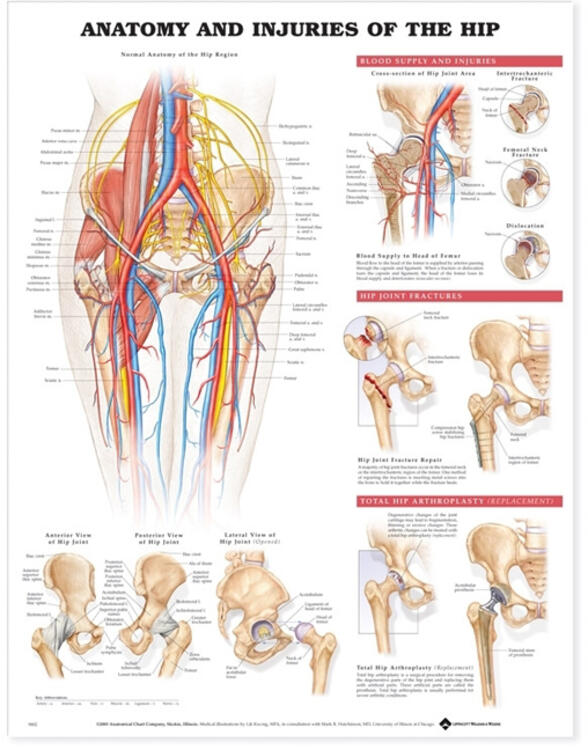 Anatomy And Injuries Of The Hip Anatomical