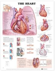 Heart Anatomical Chart
