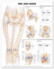 Hip and Knee Anatomical Chart