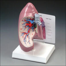 Right Lung Model