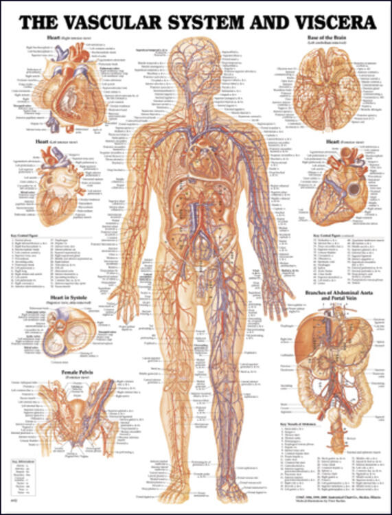 system and viscera anatomical chart, Sphenoid