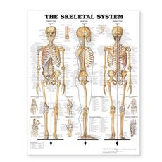Skeletal System - Large Decal Chart