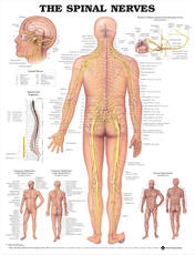 Spinal Nerves Anatomical Chart
