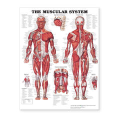 Muscular System Giant Chart