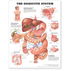 Digestive System Anatomical Chart
