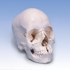 Anatomical Skull Kit Natural Bone Color