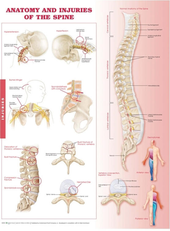 Anatomy and Injuries of the Spine